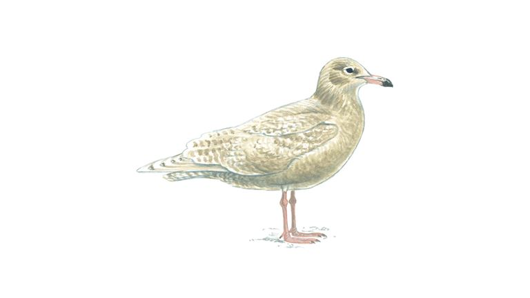 Glaucous gull (first-winter plumage)