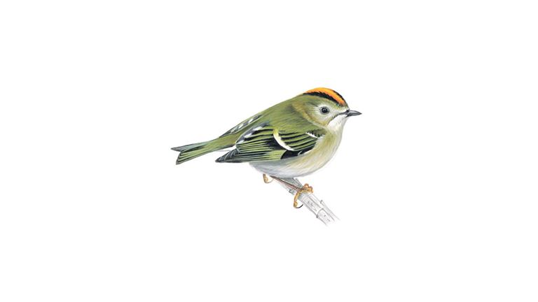 Goldcrest (adult)