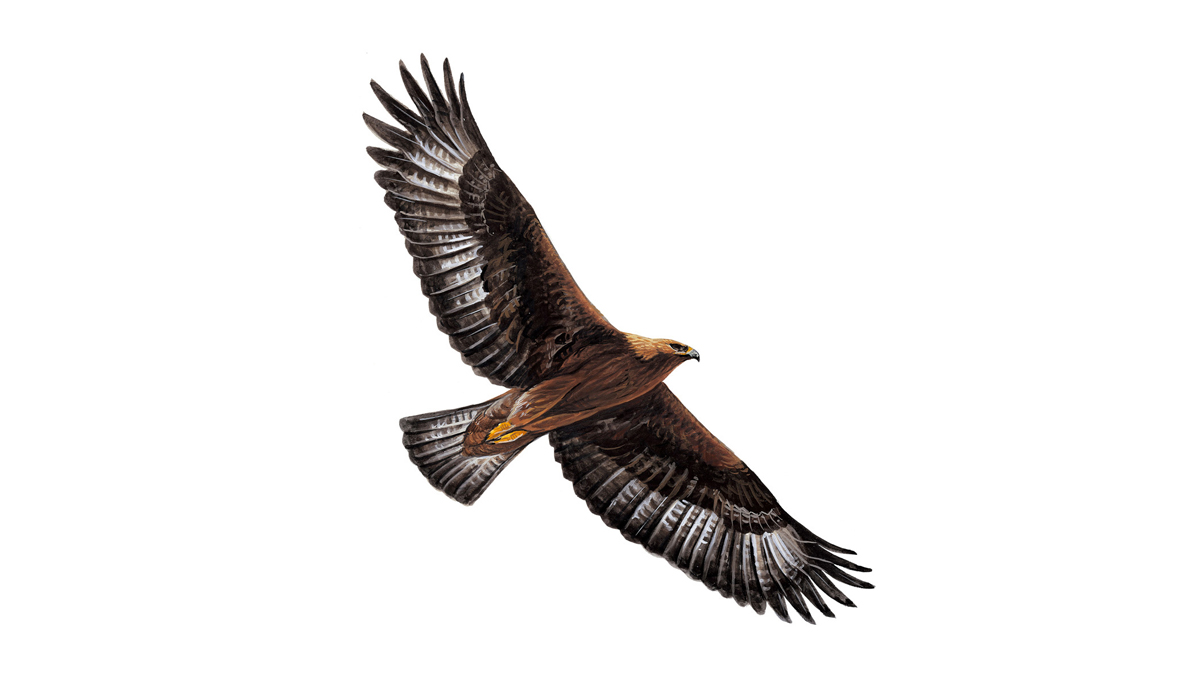 Golden Eagle Facts Aquila Chrysaetos The Rspb