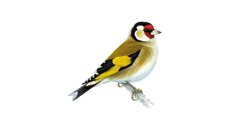 Goldfinch (adult)