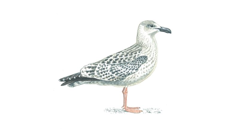 Great black-backed gull (first-winter plumage)