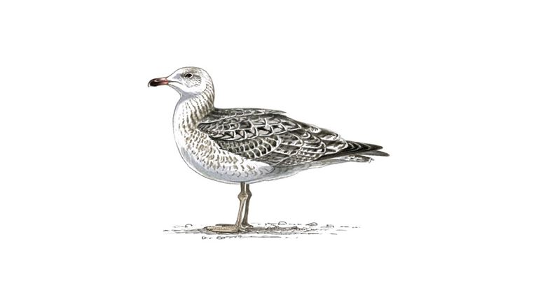Great black-backed gull (second-winter plumage)