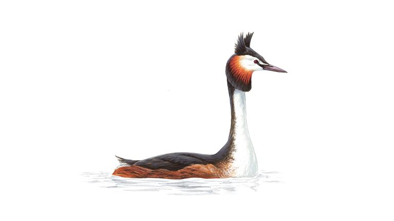 Great crested grebe (summer plumage)