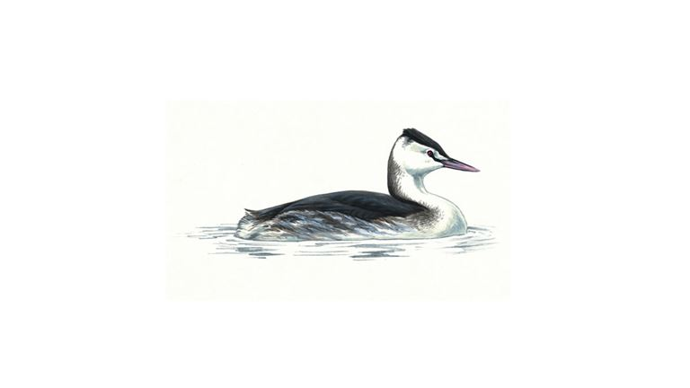 Great crested grebe (winter plumage)