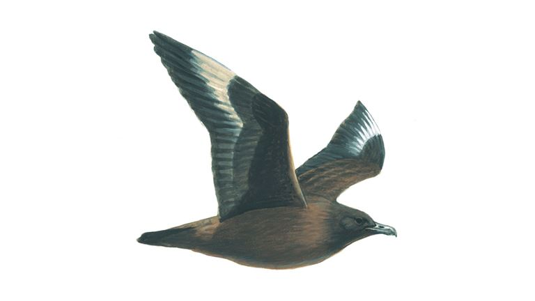 Great skua (juvenile)