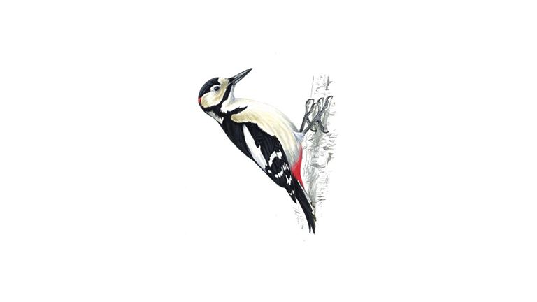 Great spotted woodpecker (adult)
