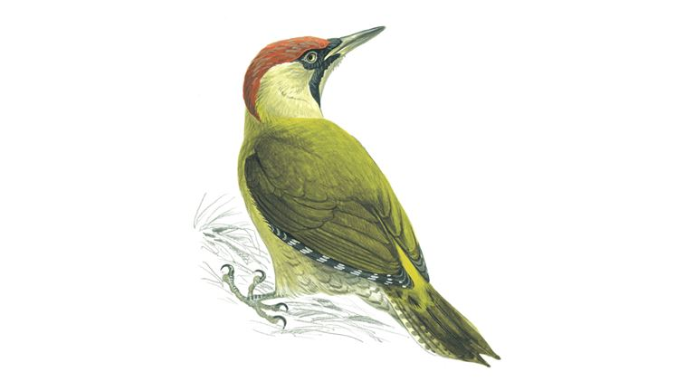 Green woodpecker (female)