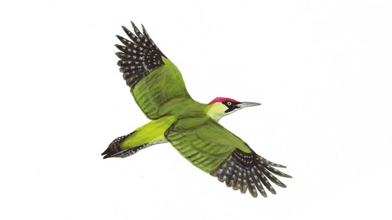 Green woodpecker (in flight)