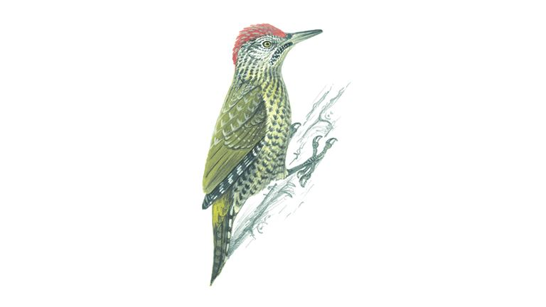 Green woodpecker (juvenile)
