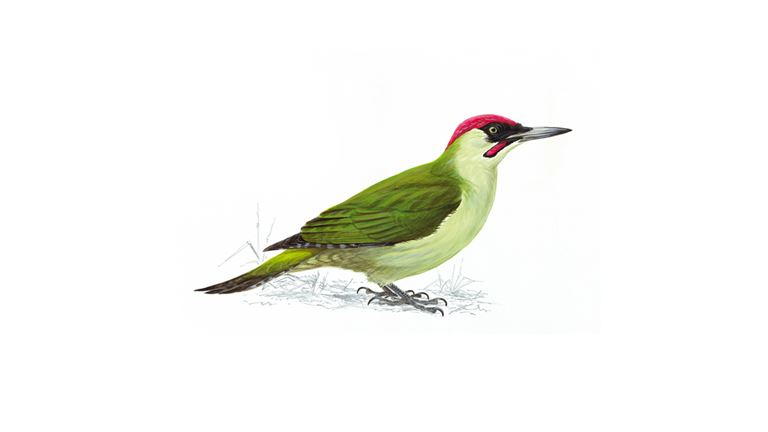Green woodpecker (adult)