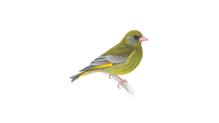 Greenfinch (adult)