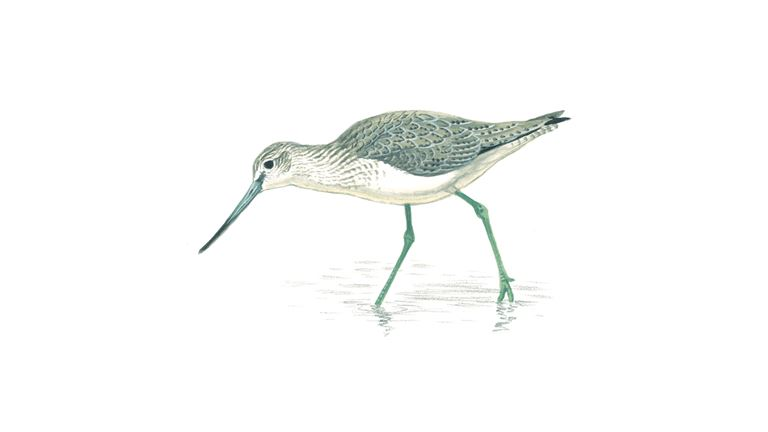 Greenshank (winter plumage)