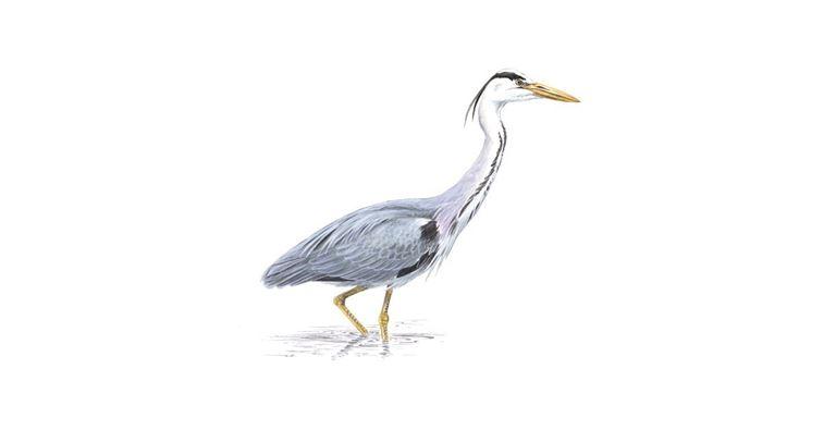 drawing of heron