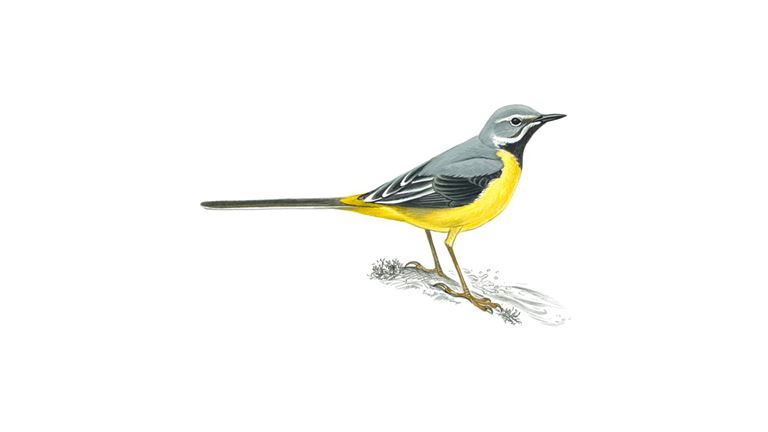 Grey wagtail (male)