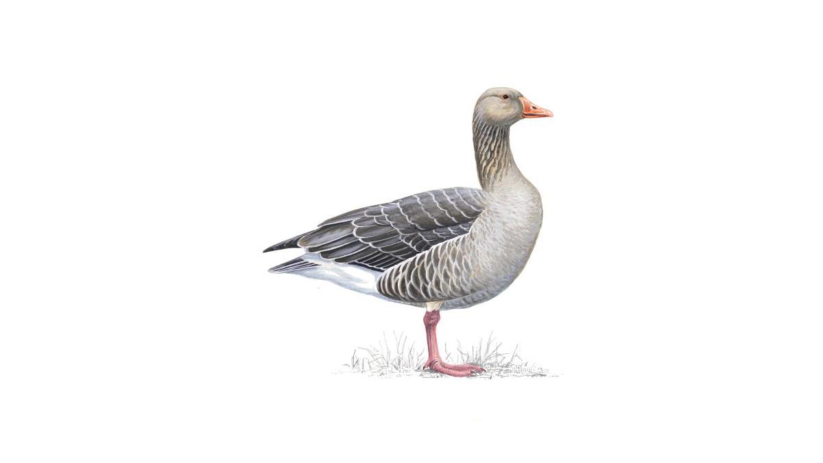 Greylag Goose Facts Anser Anser The Rspb