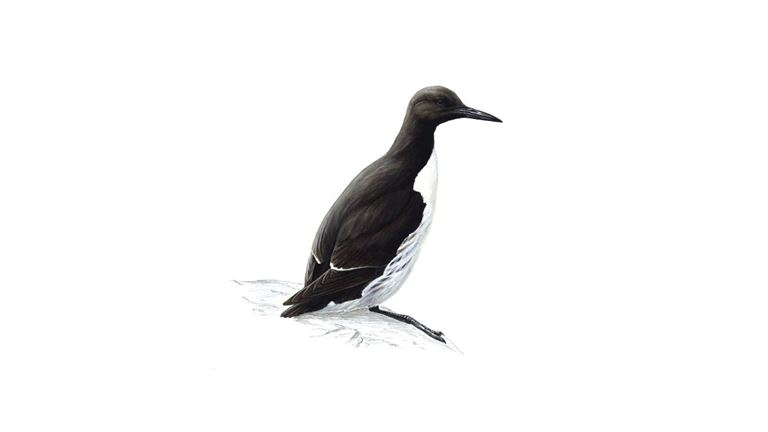 Guillemot (summer plumage)