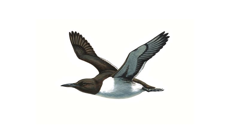 Guillemot (in flight)