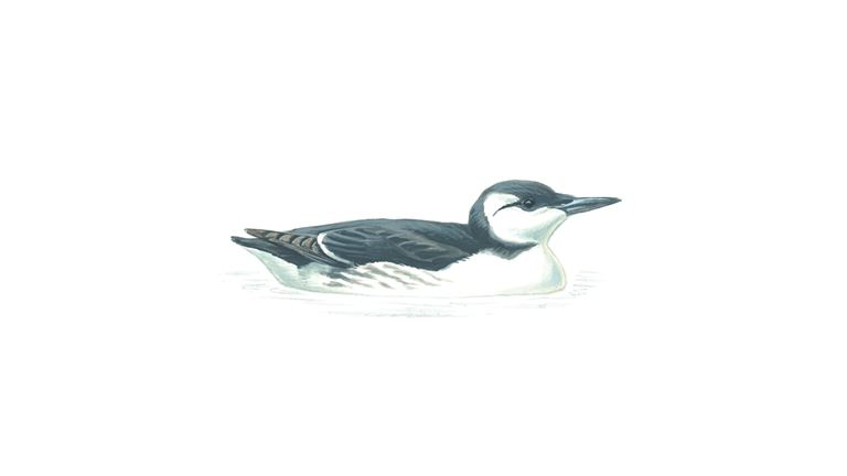 Guillemot (winter plumage)