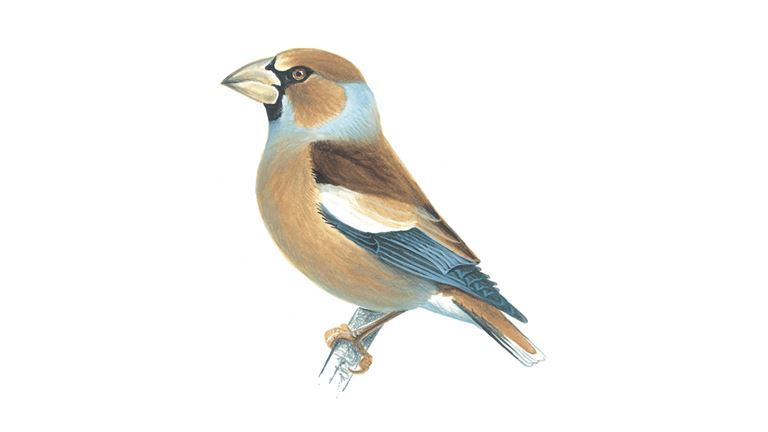 Hawfinch (female summer plumage)