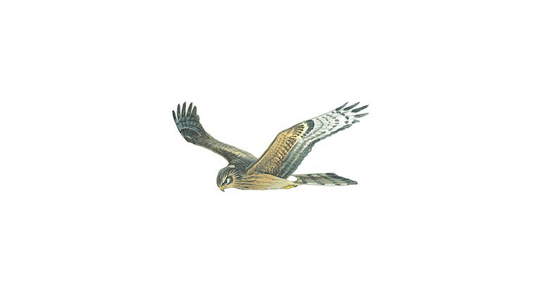 Hen harrier (female/juvenile)