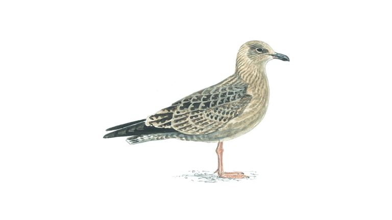 Herring gull (first-winter plumage)