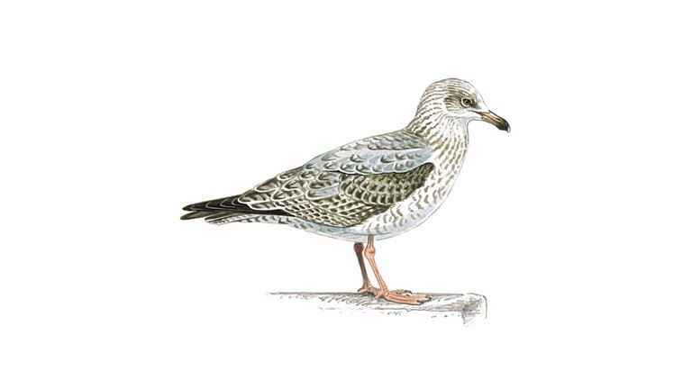Herring gull (second-winter plumage)