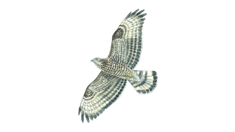 Honey buzzard (female)