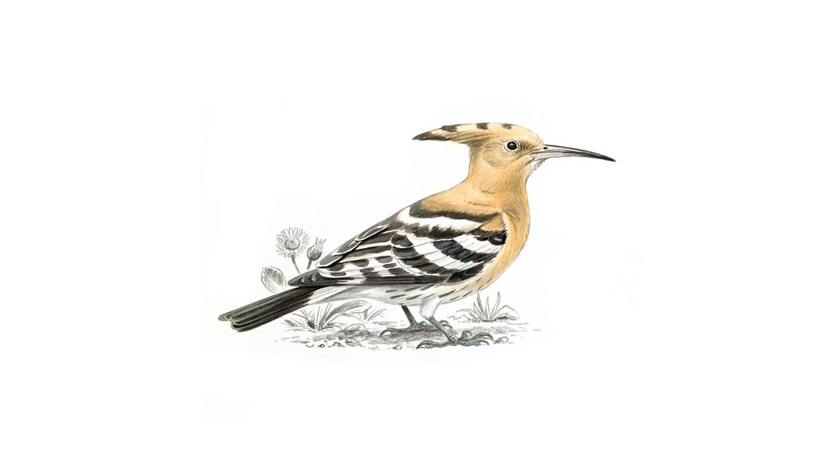 Hoopoe Bird Facts Upupa Epops The Rspb