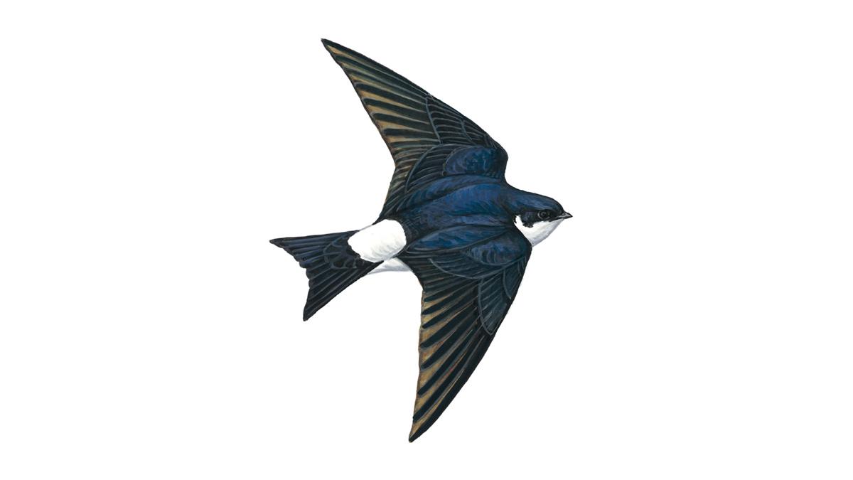 House Martin Bird Facts | Delichon Urbica - The RSPB