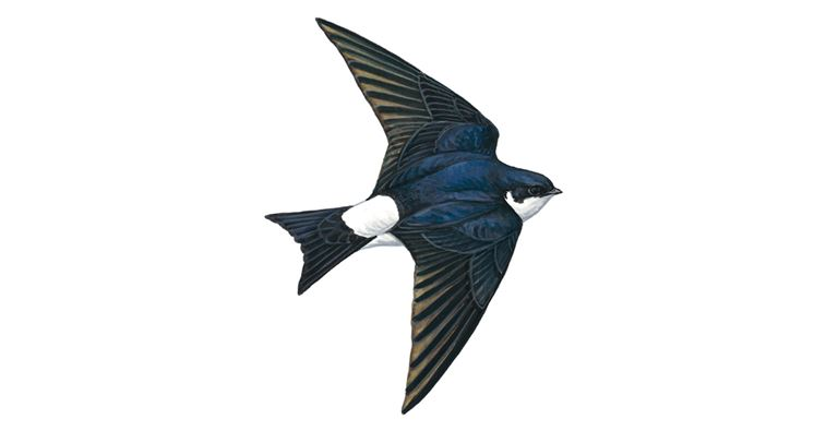 Our Daily Diaries - Page 4 House-martin_inflight_1200x675