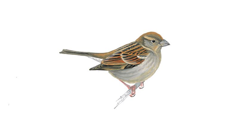 House sparrow (adult female)