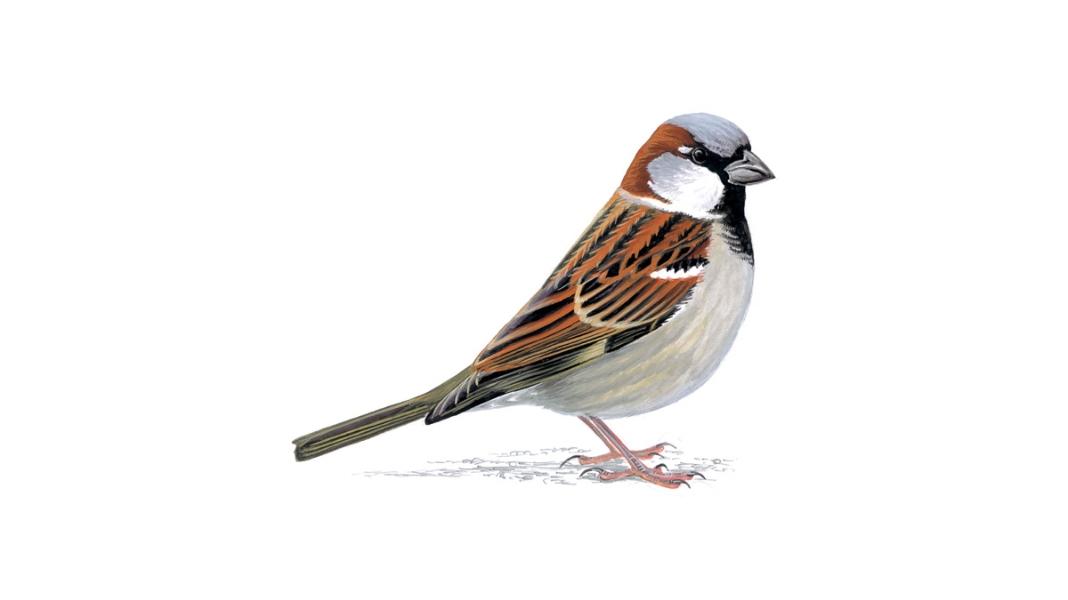 Pictures of the house sparrow