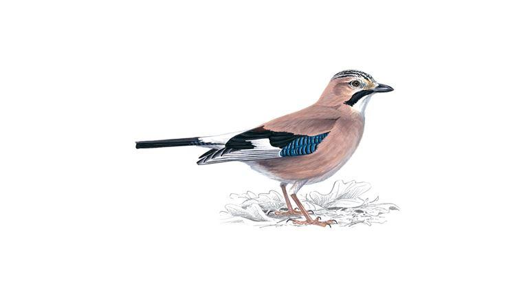 Jay Bird Facts Garrulus Glandarius The Rspb