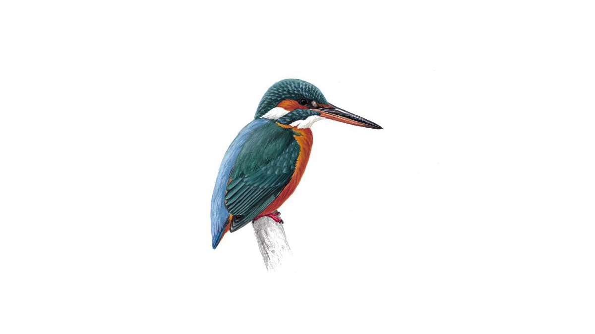 Kingfisher bird facts alcedo atthis the rspb geenschuldenfo Images