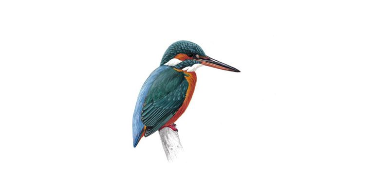 Kingfisher Bird Facts Alcedo Atthis The Rspb
