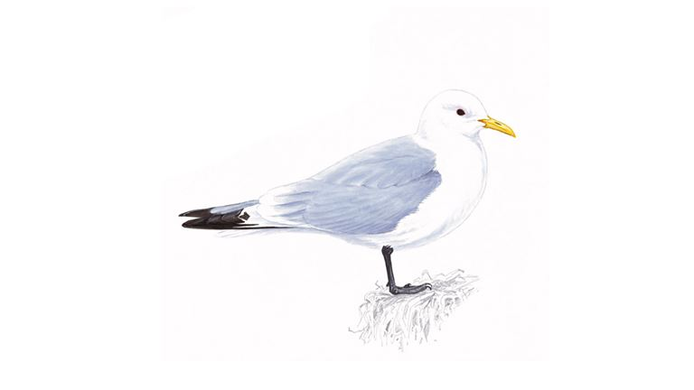 Kittiwake (adult summer plumage)