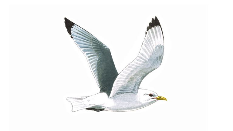 Kittiwake in flight (adult)