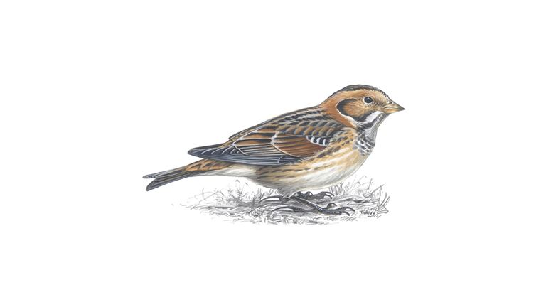 Lapland bunting (winter plumage)