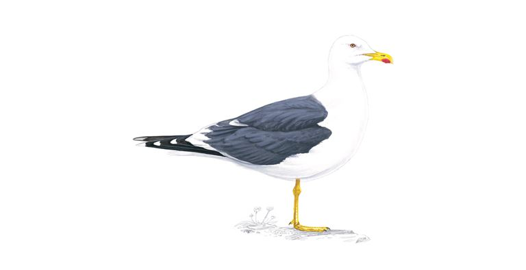 Lesser Black Backed Gull Facts Larus Fuscus The Rspb