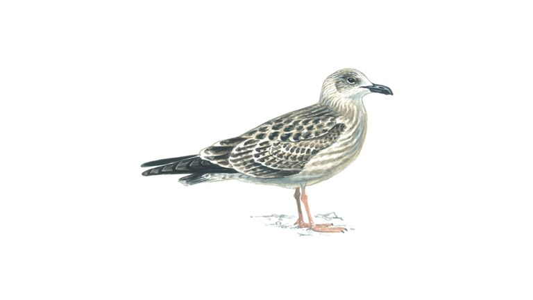 Lesser black-backed gull (first-winter plumage)