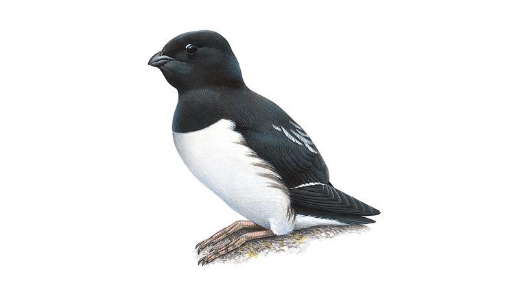 Little auk (summer plumage)