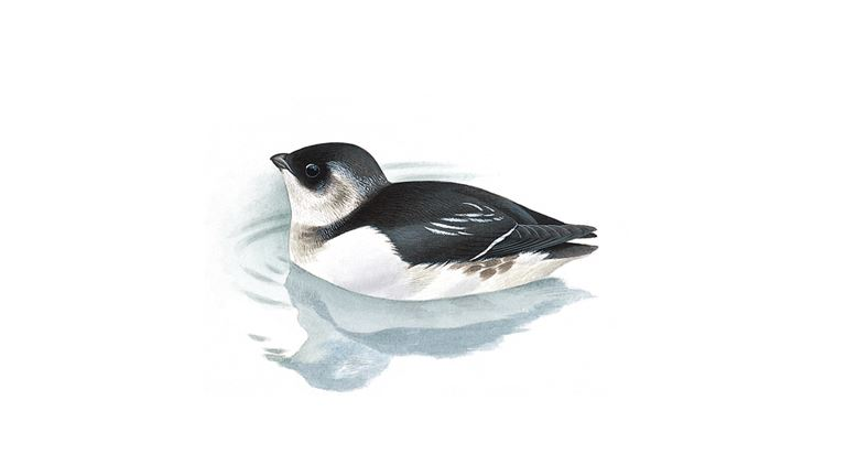 Little auk (winter plumage)
