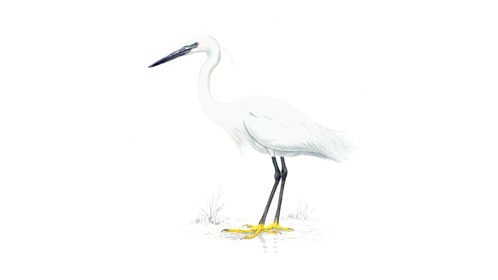 Little Egret Bird Facts Egretta Garzetta The Rspb