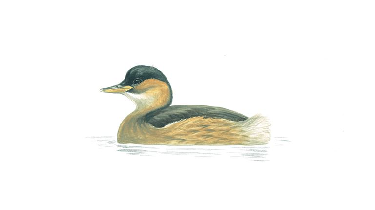 Little grebe (winter plumage)