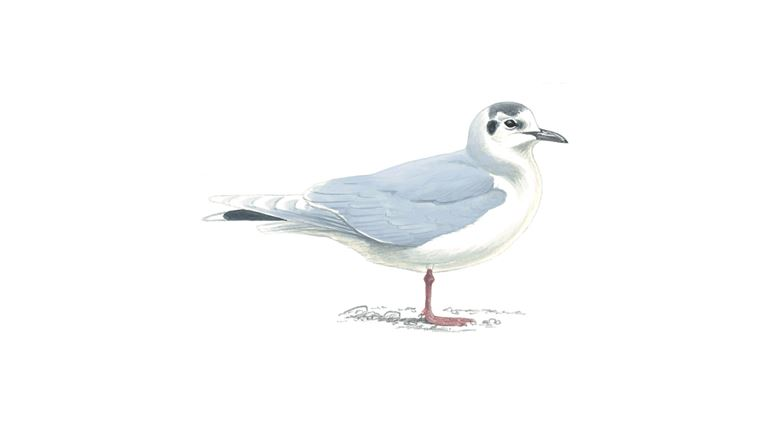 Little gull (adult winter plumage)
