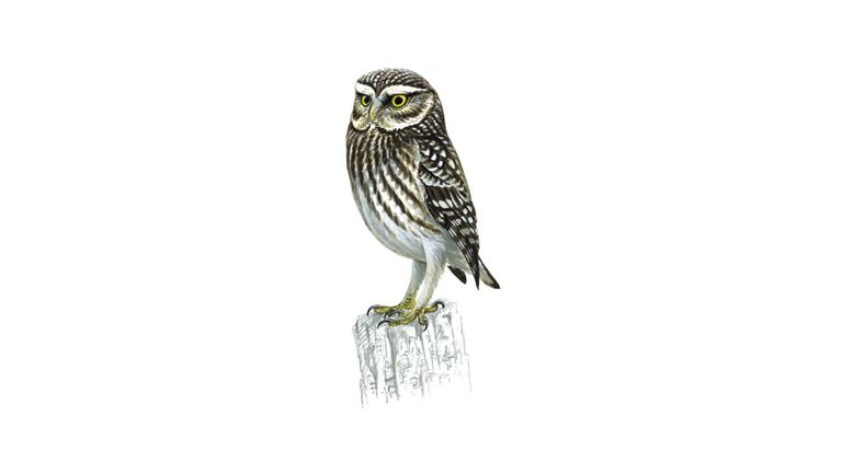 little owl adult - Picture Of An Owl