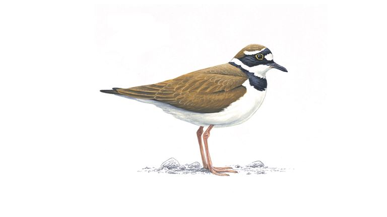 Little ringed plover (adult summer plumage)