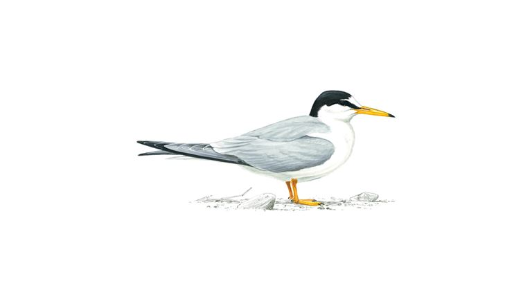 Little tern (summer plumage)