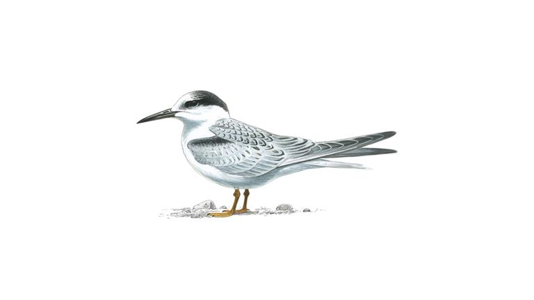 Little tern (juvenile)