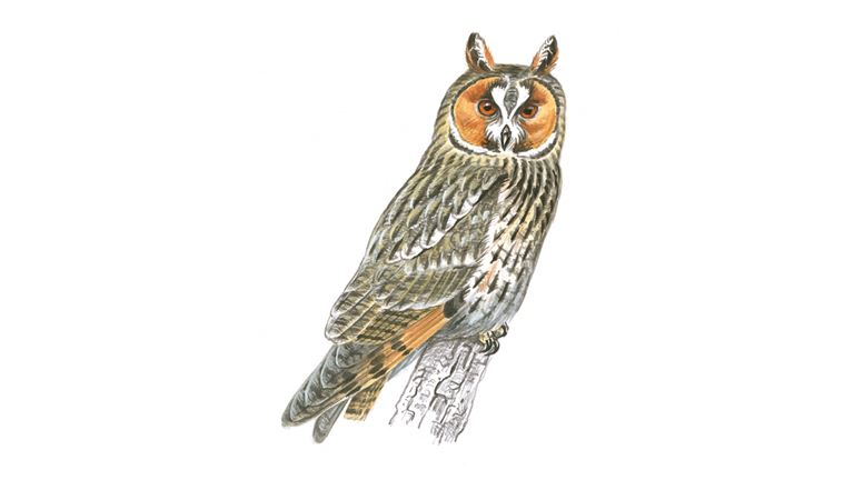 long eared owl facts asio otus the rspb